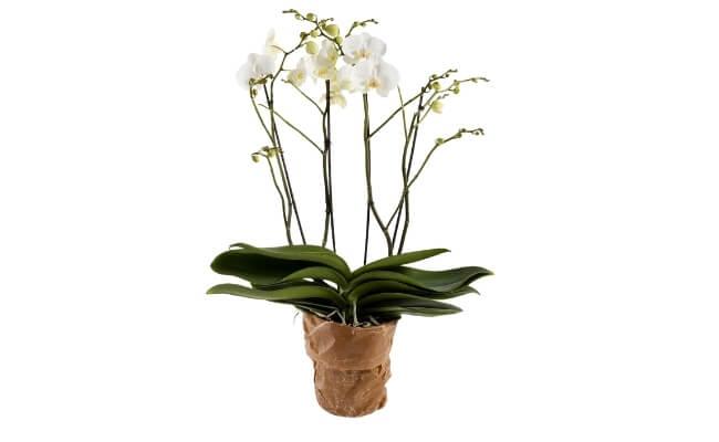 Orkidé 4-grenet XL